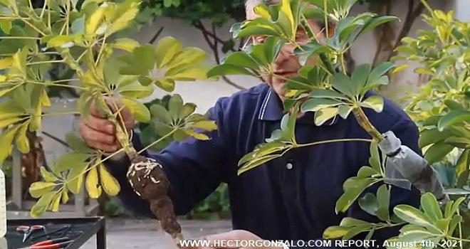 1025.07 Argentina Salta Ing Cabrera Kohl Escuela de Jardineria y Paisajismo Multiplicacion vegetativa acodo aereo